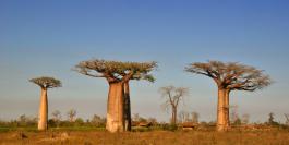 5 manieren waarop Baobab goed voor je is